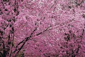 cherry blossom tree facts flowering plum tree facts home guides sf gate