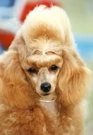 Creature Comforts Grooming 121 Best Poodle Cuts Clips U0026 Styles Images On Pinterest