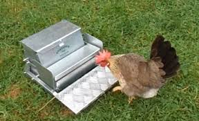Backyard Poultry In India 10 Most Famous Egg Laying Breeds Of Chicken The Poultry Guide