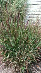 10 best ornamental grasses images on ornamental
