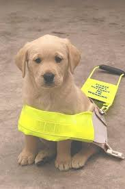 Blind Dog And His Guide Dog Disheartened And Frustrated U0027 Blind Lee Man Says Taxis Refuse Him