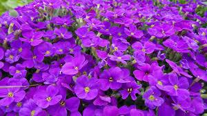 free images blossom purple petal bloom flora