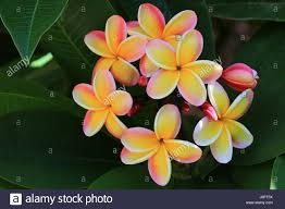 plumeria flowers rainbow plumeria flowers hawaii stock photo 143102118 alamy