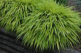 ornamental grass hakonechloa macro aureola named plant for the year