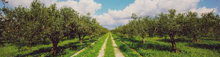 types of olive trees in our groves my olive tree sponsor an