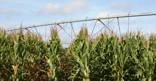 irrigated corn research aimed at corn production with limited irrigation