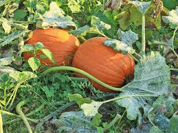 Growing Pumpkins On A Trellis There U0027s More To Squash Than Zucchini And Acorns