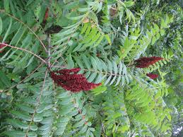 using georgia native plants july cool off with all american sumac holli richey psychotherapy