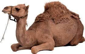 imagenes de los reyes magos y sus animales reyes magos y sus camellos buscar con google proyectos que