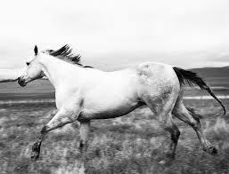 white mustang horse horses richard phibbs fine art