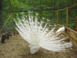 peafowl for sale