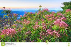 kalmia latifolia kalmia latifolia mountain laurel buds north carolina stock image