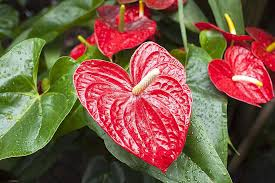 anthurium flower how to successfully grow anthurium plants