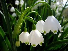 a flower looks like lamp so i called it white lamp flower