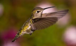 Hummingbird On A Flower - frequently asked questions about hummingbirds bird watcher u0027s digest