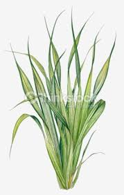 illustration of pandanus with long green to yellow leaves stock