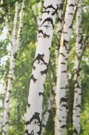 Wall Mural Mystical Pathway Peel 13 Best Birch Trees Images On Pinterest Birches Birch Forest