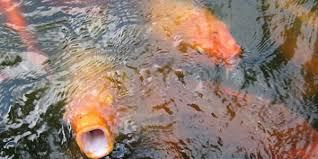 cara membuat umpan mancing ikan mas harian cara membuat umpan jitu ikan mas tanpa esen mudah dan praktis