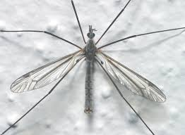 Tiny Flying Insects In House by Crane Flies Not Mosquitoes Insects In The City