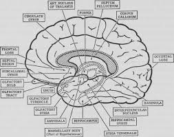 human brain anatomy colouring pages for brain anatomy coloring