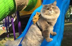 Cat Instagram Ring In The Weekend With P U0027bone The Floofy Fat Instagram Cat
