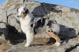 australian shepherd nbt australian shepherd dragonora dirty montana diamond id 13348