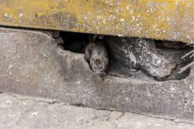 Garden Rodents Types How To Get Rid Of Rats Naturally Natural Rat Repellent Guide