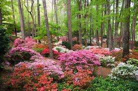 when to prune native plants proper pruning of azaleas camellias hydrangeas and oleanders