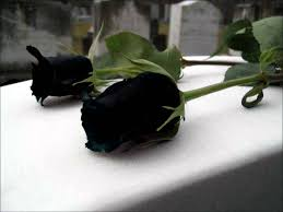 rare black rose u0027 only grows in a village in turkey