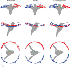 wingbeat kinematics and motor control of yaw turns in anna u0027s