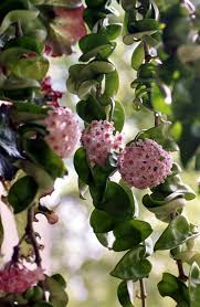 hoya also called wax plant i got a cutting from my sil and
