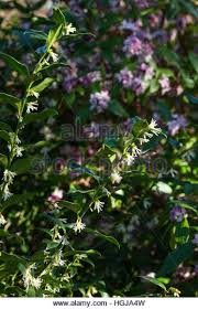 Scented Flowering Shrubs - evergreen scented winter flower stock photos u0026 evergreen scented