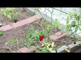 how to plant a salsa garden vegetable gardening youtube