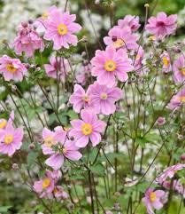 anemone plant anemone x hybrida serenade japanese anemone
