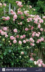 Rose Trellises Rosa U0027chaplin U0027s Pink Climber U0027 Pink Climbing Rose Fan Shaped