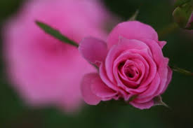 Rose Petals How To Keep Rose Petals Fresh Hunker