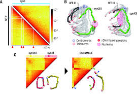 Chromosome Map 3d Organization Of Synthetic And Scrambled Chromosomes Science