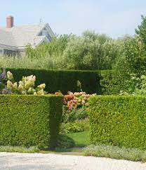 Flowering Privacy Shrubs - privacy shrubs for sale lowest prices online u0026 delivered