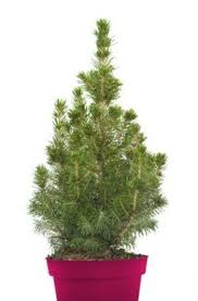 caring for a live christmas tree thriftyfun