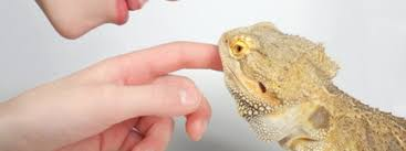 behaviors bearded dragons meaning