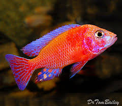 12 best cichlids images on pinterest tropical fish african
