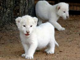 lions for sale 422 best white lions images on white lions