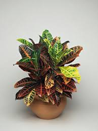 colorful houseplants that aren t hard to grow croton houseplant jpg