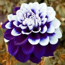 beautiful tomo pilot blue u0026 white dahlia flower seeds 100 seeds