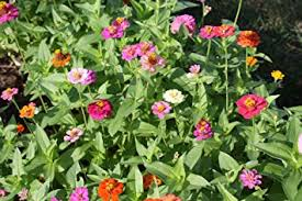 zinnia flower seeds and things 400 pumila zinnia flower bulk