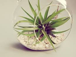 hanging terrarium air plant easy to take care of so it u0027s perfect