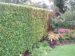 decorating landscaping ideas with privet hedge plants