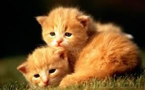 3 week kittens sweet baby kittens wallpaper 7 wallcoo net