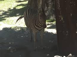 equus quagga ssp