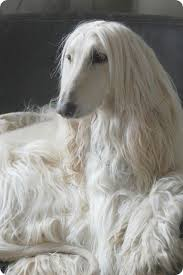afghan hound weight 5 of the most graceful dog breeds lets see how many you already